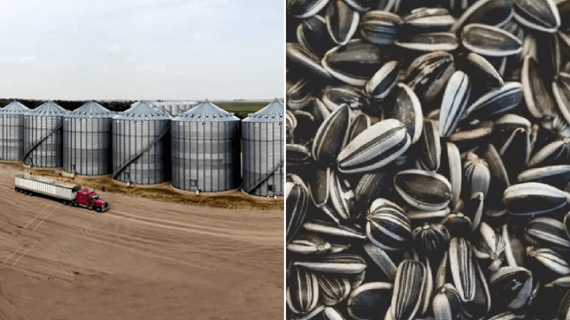 Woman drowned in vat of sunflower seeds after going in with faulty harness