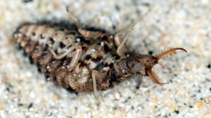 Belly-Up Antlion Larva