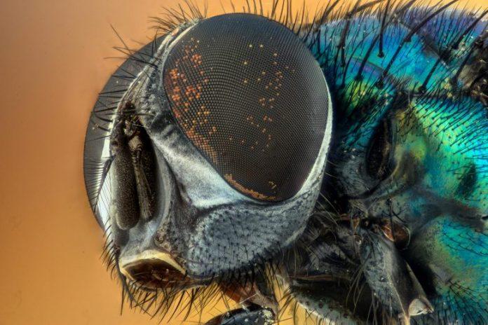 Macro Fly Compound Eyes