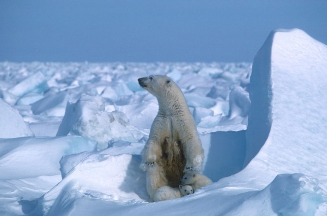 A polar bear with its cubs in the Sea Ice, northeast of Prudhoe Bay in Alaska in 1985.