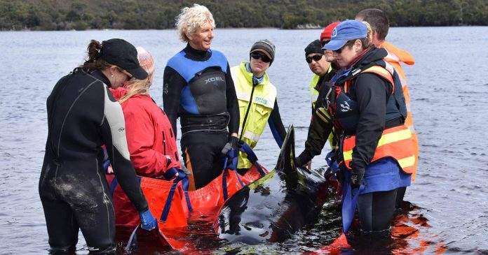 Australian rescuers save 70 stranded whales after 380 die