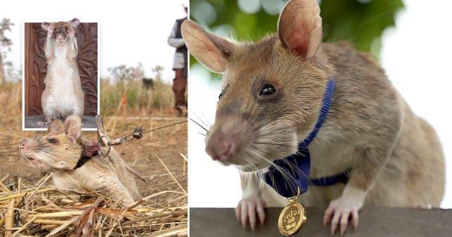 Rat award