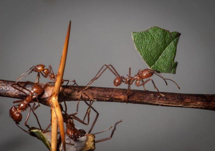 Leaf Cutter Ants Atta cephalotes