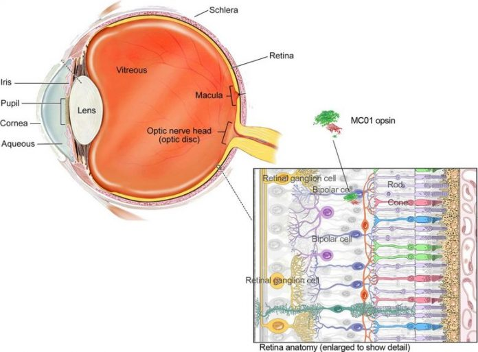 Neural Retina Illustration