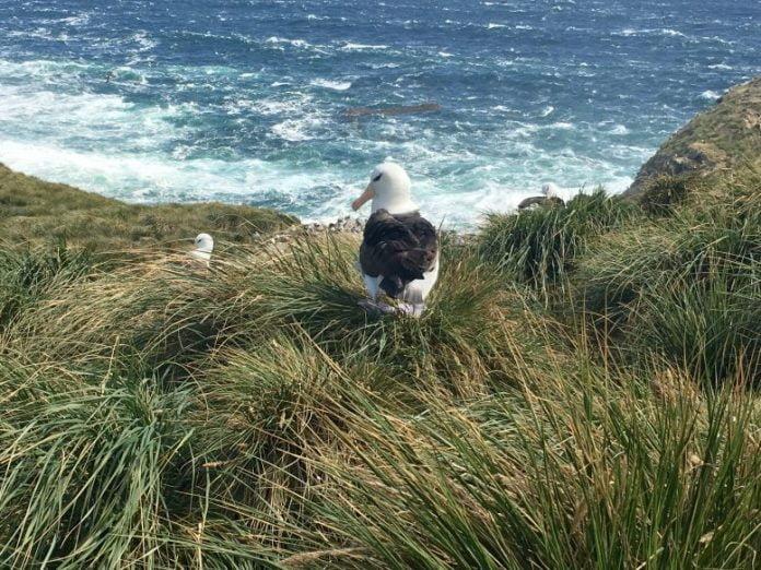Black-Browed Albatross Rookery