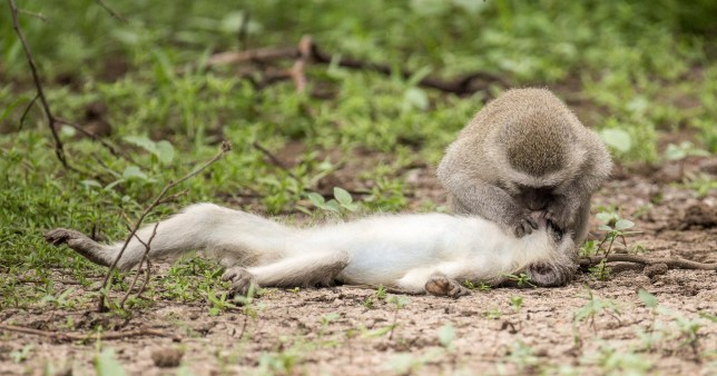 Monkey appears to be giving CPR to one of it's band