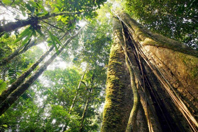 Giant Amazon Rainforest Tree