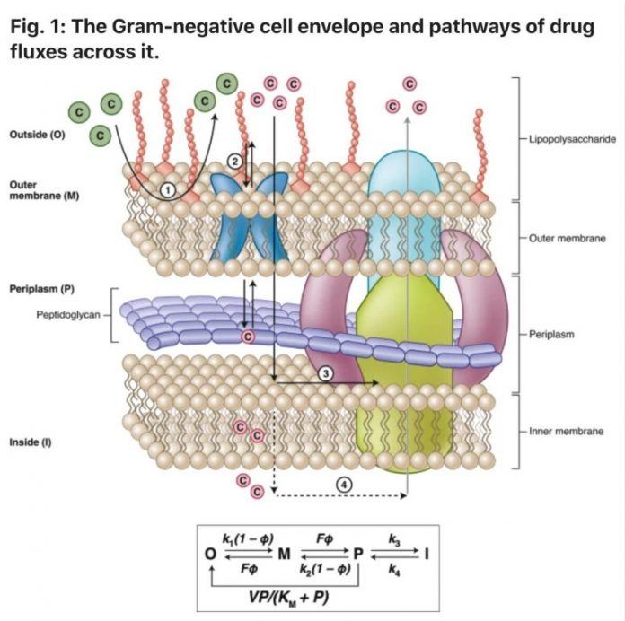 Gram Negative Cell Envelope and Pathways