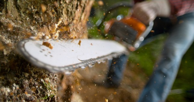 Chainsaws were invented for childbirth, not cutting wood Lumberjack using chainsaw while cutting tree in forest.