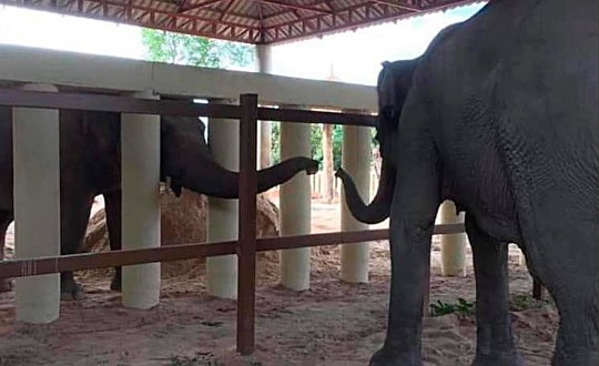 Kaavan, an Asian elephant, extends its trunk from behind white posts to reach out to another elephant at the Kulen Prom Tep Wildlife Sanctuary Tuesday, Dec. 1, 2020, in Oddar Meanchey, Cambodia. Kaavan, dubbed the world's loneliest elephant after living alone for years in a Pakistani zoo, has captured worldwide attention, has now moved to a sanctuary that houses other pachyderms. (Four Paws via AP)