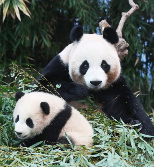 epa08918107 Baby panda Fu Bao sits with her mother Ai Bao at the amusement park Everland in Yongin, south of Seoul, South Korea, 04 January 2021. The female cub was born to the seven-year-old giant panda and her partner, nine-year-old Le Bao, on 20 July 2020. The giant pandas were shipped from China to South Korea in March 2016 as part of a joint research on the endangered species. EPA/YONHAP SOUTH KOREA OUT