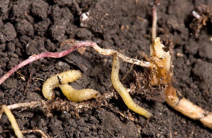 Western Corn Rootworm Larvae