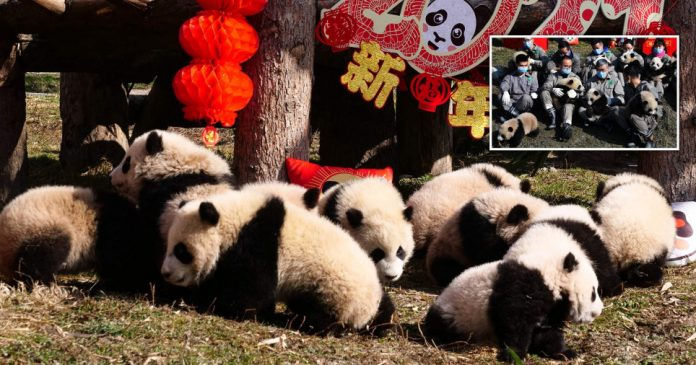 Baby pandas make their debut to mark Chinese New Year