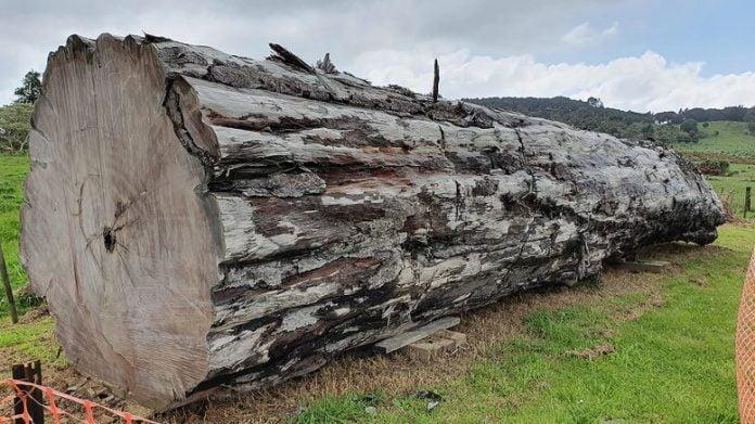 Ancient Kauri Tree Log