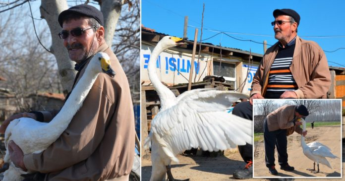 Man has been best friends with a swan for 30 years