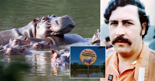 Pablo Escobar's hippopotami pose a major threat to locals and indigenous flora and fauna leaving experts no option but to cull them before they devastate the countryside, warn scientists.