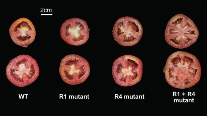 Tomato Mutations