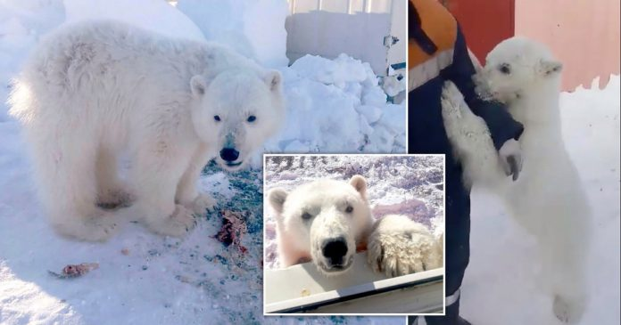 Russian miners save Polar bear cub after it's mother died on Arctic island
