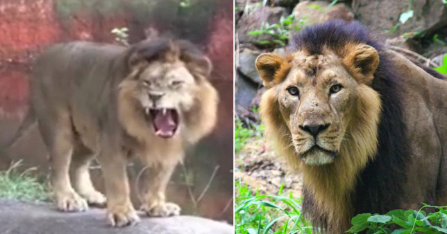 Lions in an Indian zoo have tested positive for Covid