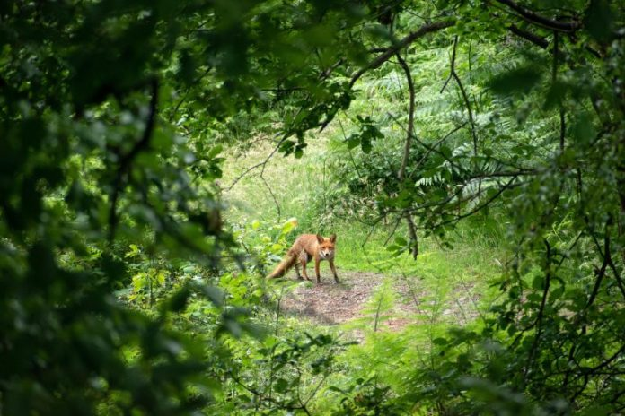 Fox in a Forest