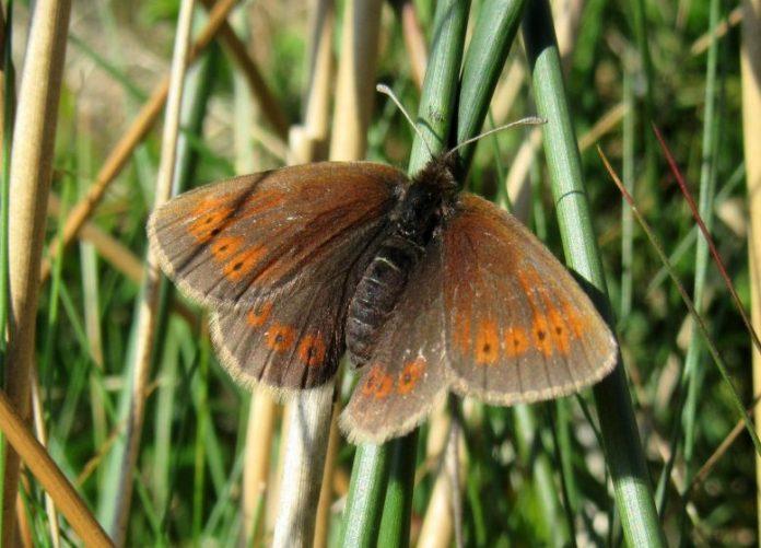 Mountain Ringlet Butterfly