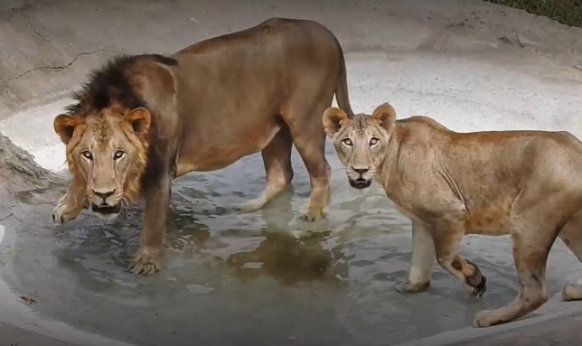 Lions at the Arignar Anna Zoological Park, where a nine-year-old lioness has died after testing positive for SARS-CoV2, Chennai, India, May 2021. (Newsflash)