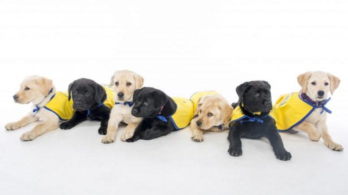 Canine Companion for Independence Puppies