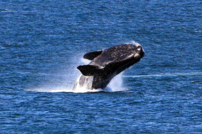 Right Whale Breach